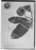 Apeiba albiflora image