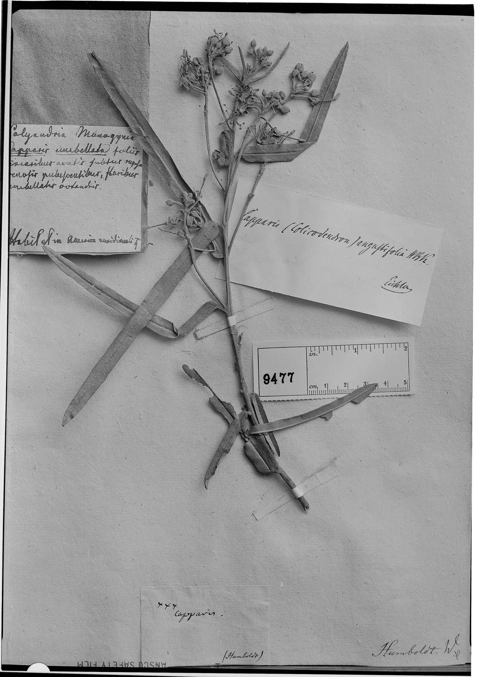 Capparis angustifolia image