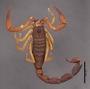 FMNHINS11013 Grosphus simoni HT dorsal