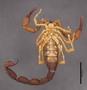 FMNHINS11013 Grosphus simoni HT ventral