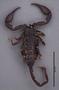 FMNHINS11060 Heteroscorpion raselimananai HT dorsal