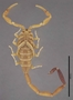 FMNHINS43093 Centruroides schmidti HT ventral