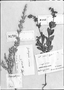 Field Museum photo negatives collection; Genève specimen of Salvia brevipes Benth., BRAZIL, Glaussen, Type [status unknown], G-DC