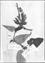 Field Museum photo negatives collection; Genève specimen of Salvia longiflora Ruíz & Pav., PERU, J. Dombey, Type [status unknown], G-DC