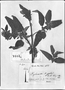Field Museum photo negatives collection; Genève specimen of Salvia plumosa Ruíz & Pav., PERU, J. Dombey, Type [status unknown], G-DC