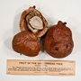 funded by Rob Gordon: Hyphaene thebaica (L.) Mart., Gingerbread Tree, Kenya, G. S. Bryan 3423, F