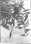 Field Museum photo negatives collection; Genève specimen of Myrica pavonis C. DC., PERU, J. A. Pavón, Type [status unknown], G-DC