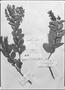 Field Museum photo negatives collection; Genève specimen of Gaultheria glabra DC., PERU, Mathews, Type [status unknown], G-DC