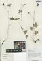 Geranium pylzowianum Maxim., China, D. E. Boufford 33166, F