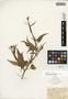 Nicotiana rustica image