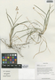 Ophiopogon bodinieri H. L?v., China, D. E. Boufford 32933, F