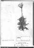 Perezia linearis image