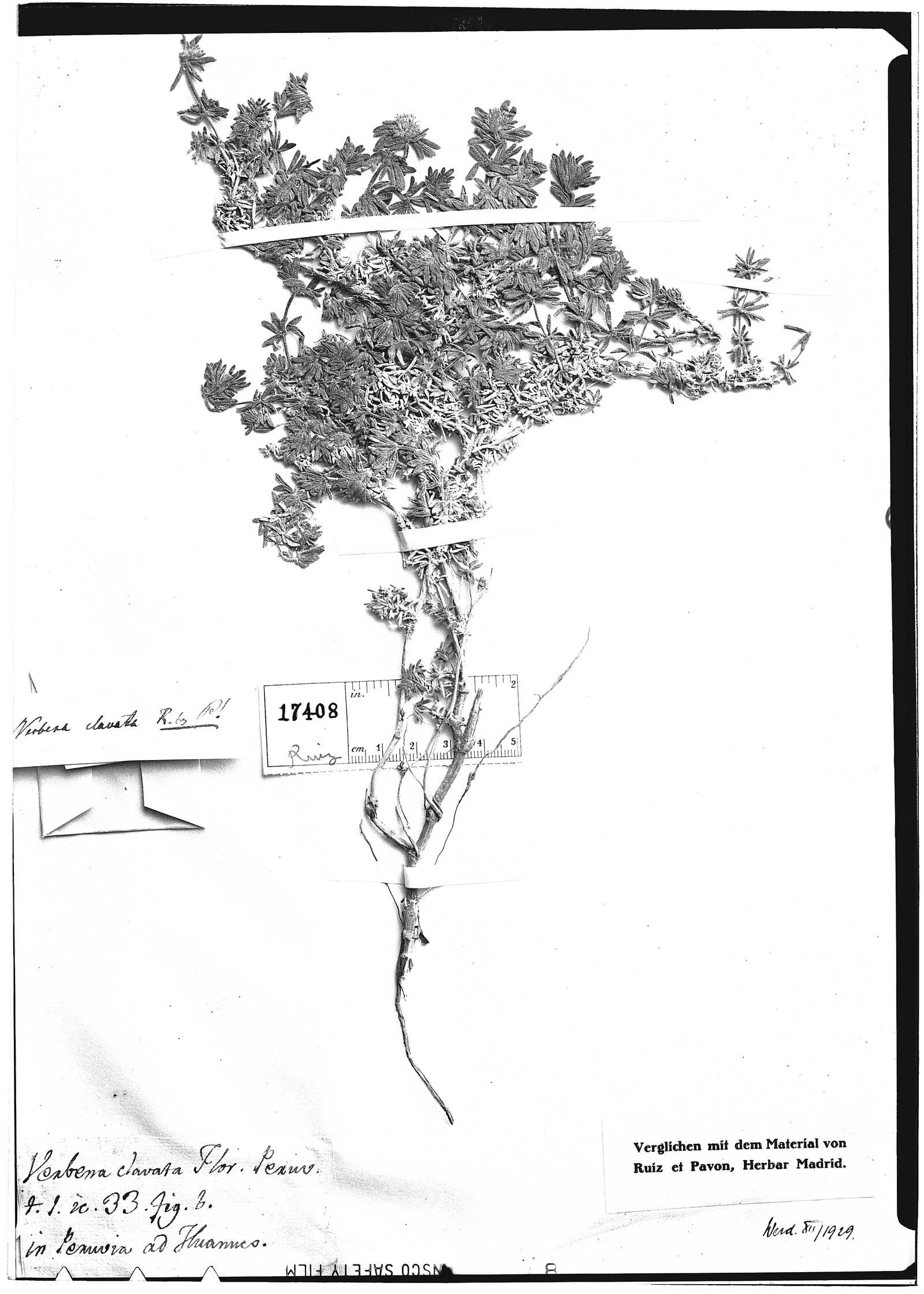 Verbena clavata image