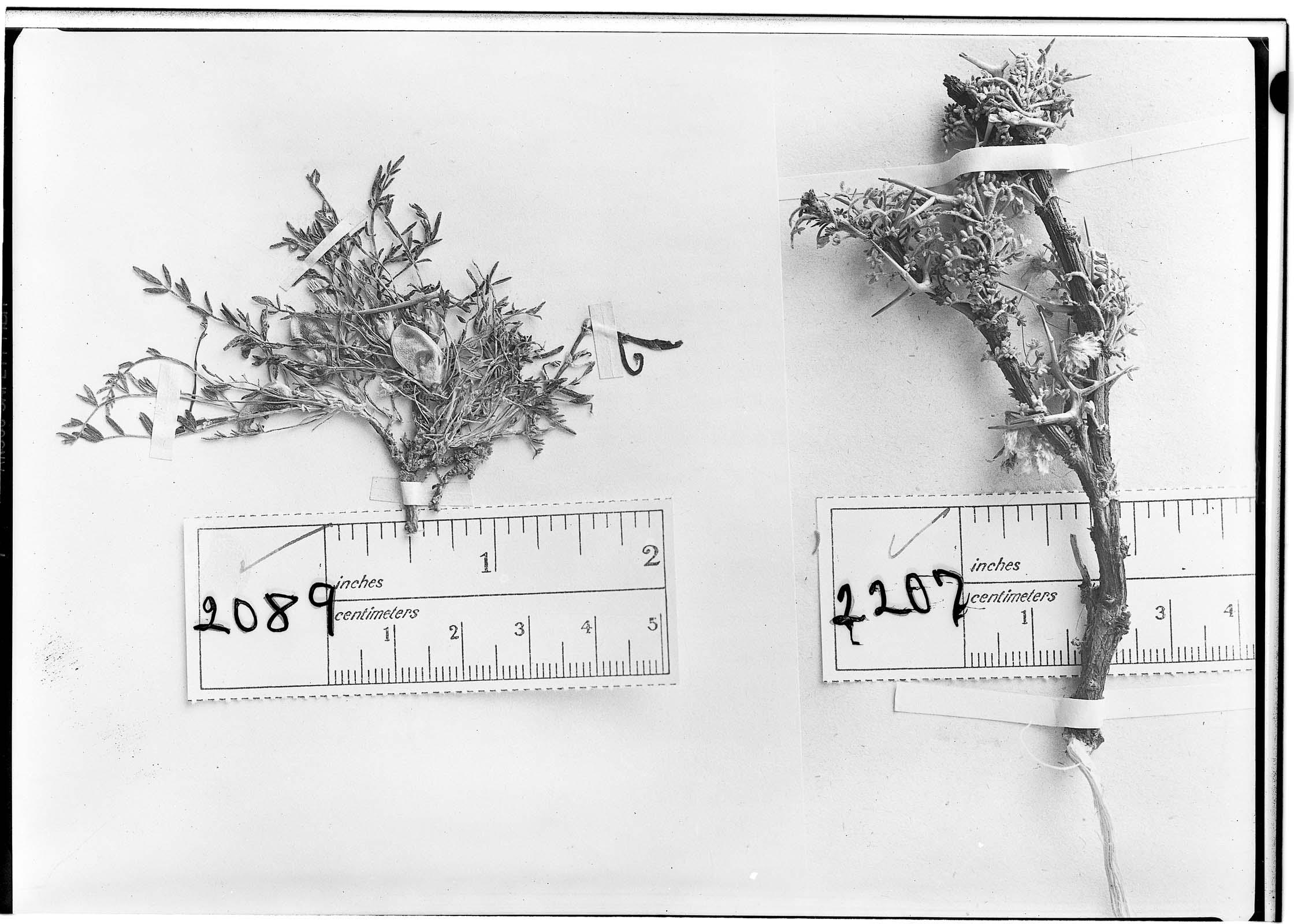 Astragalus atacamensis image