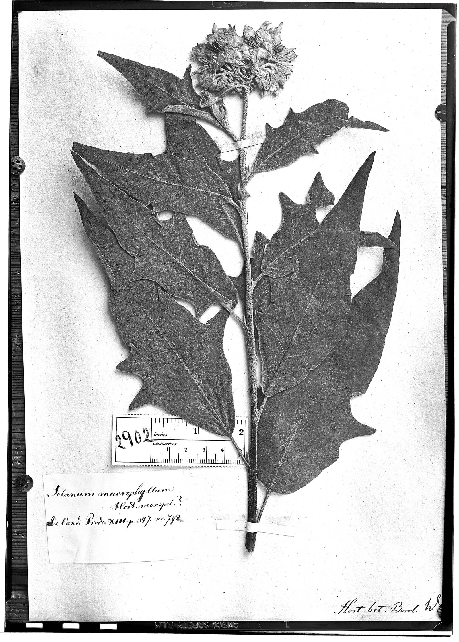Solanum albidum image