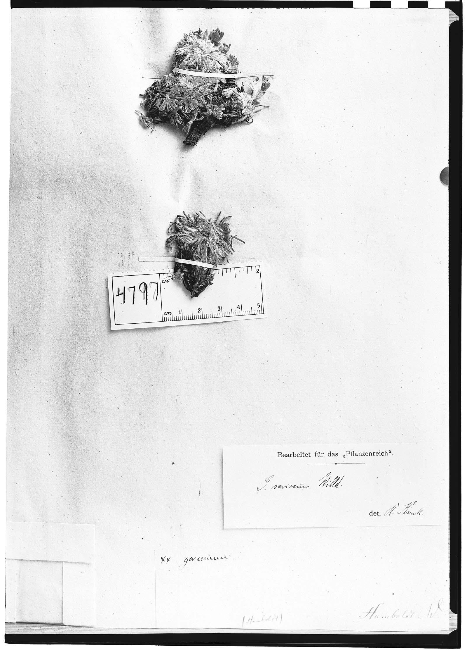 Geranium sericeum image