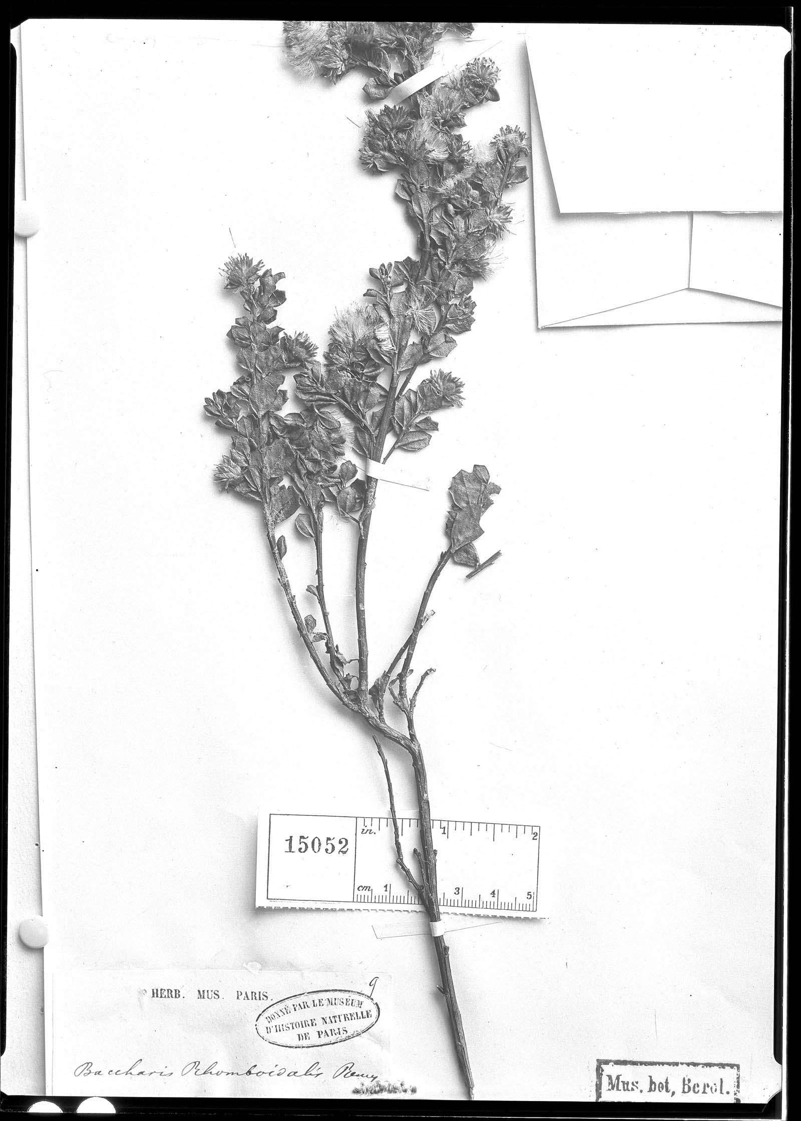 Baccharis rhomboidalis image