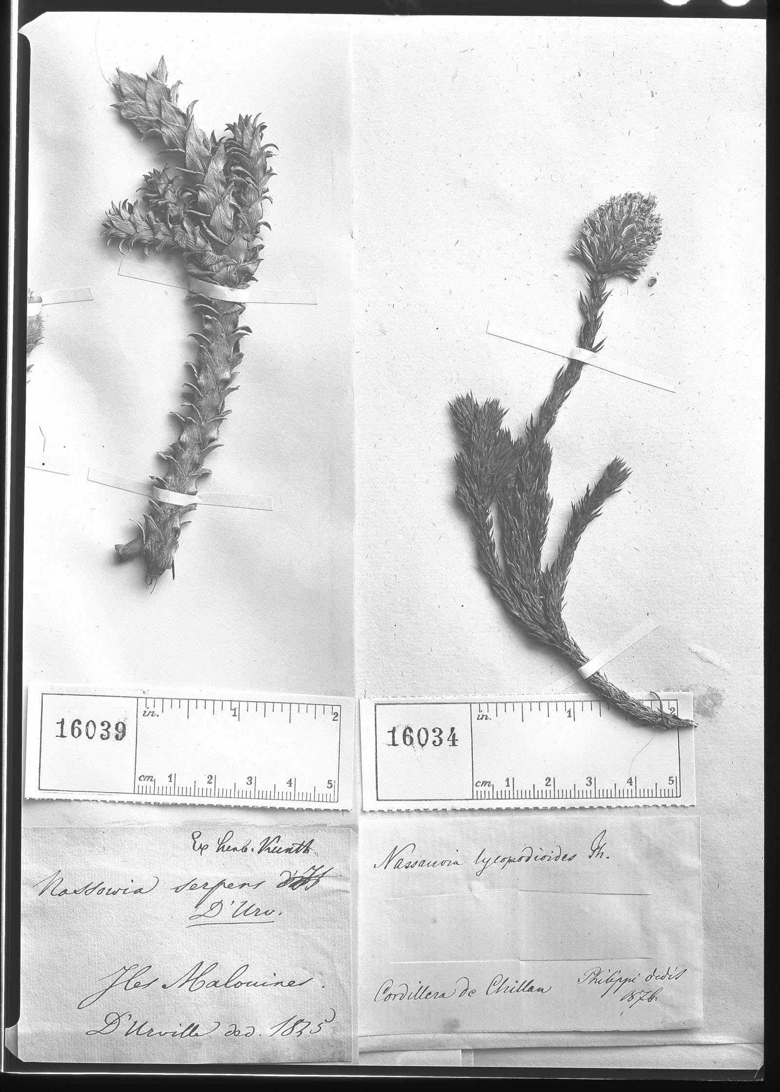 Nassauvia lycopodioides image