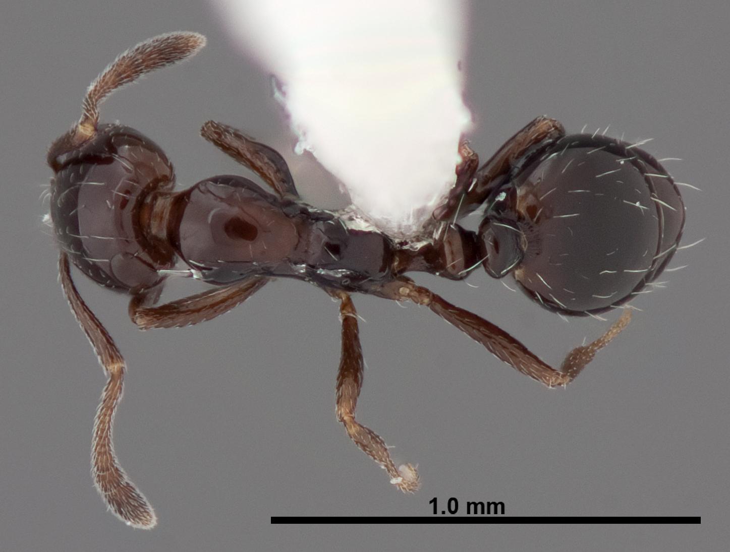Image of Monomorium ebeninum