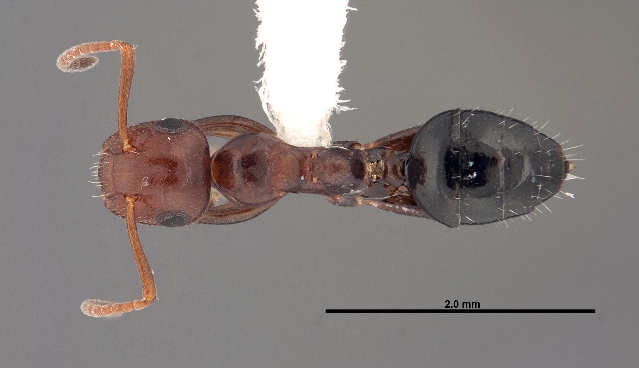 Image of Camponotus impressus