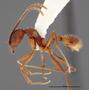 FMNHINS47112 p Aphaenogaster reticulaticeps PT