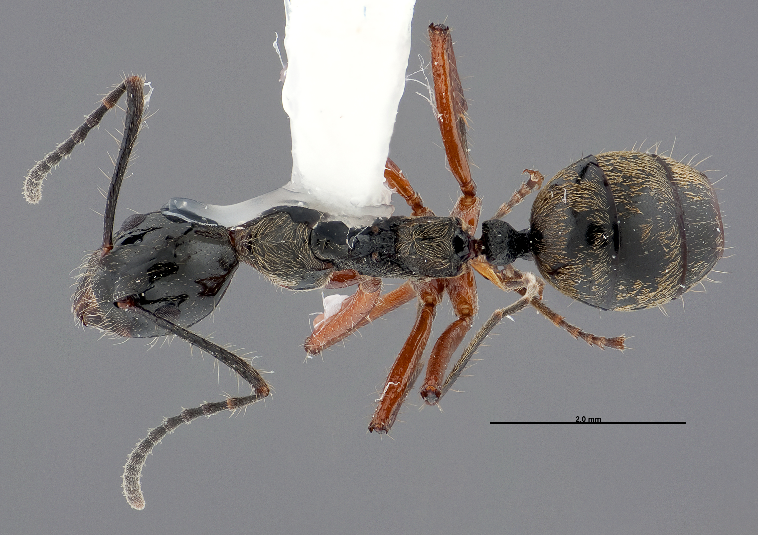 Image of Dolichoderus laurae