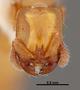 FMNHINS47309 h Acanthostichus punctiscapus PT