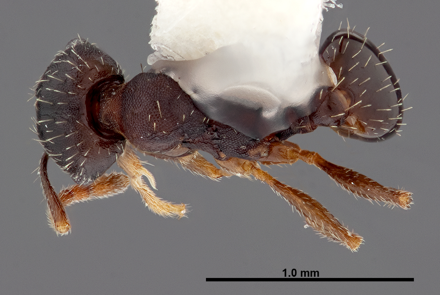 Image of Pheidole wheelerorum