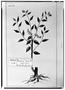 Field Museum photo negatives collection; Genève specimen of Monnina bifurcata DC., MEXICO, M. Sessé, Type [status unknown], G