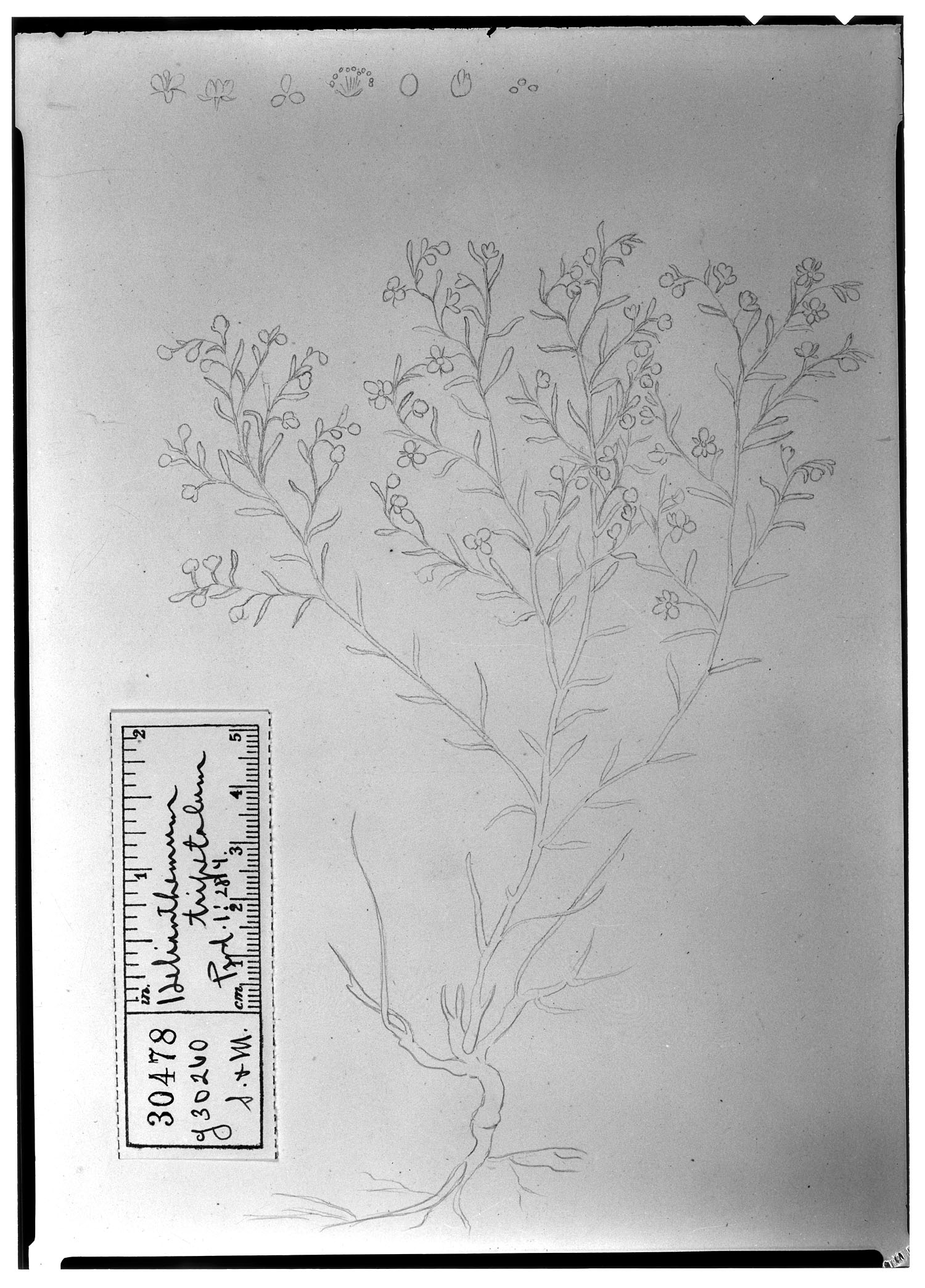 Helianthemum tripetalum image