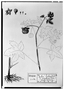 Field Museum photo negatives collection; Genève specimen of Sida palmata Cav., MEXICO, M. Sessé, Type [status unknown], G