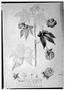 Field Museum photo negatives collection; Genève specimen of Sida spinifex Sessé & Moc., MEXICO, M. Sessé, Type [status unknown], G