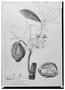Field Museum photo negatives collection; Genève specimen of Sterculia oblongifolia DC., MEXICO, M. Sessé pl.106, Isotype, G