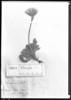 Perezia pedicularidifolia image