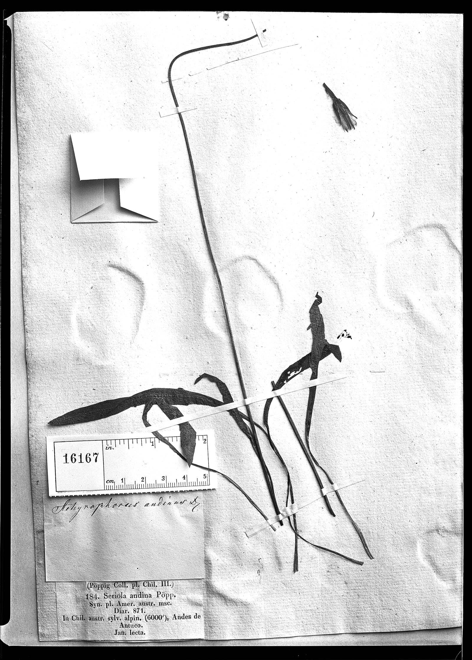 Hypochaeris arenaria image