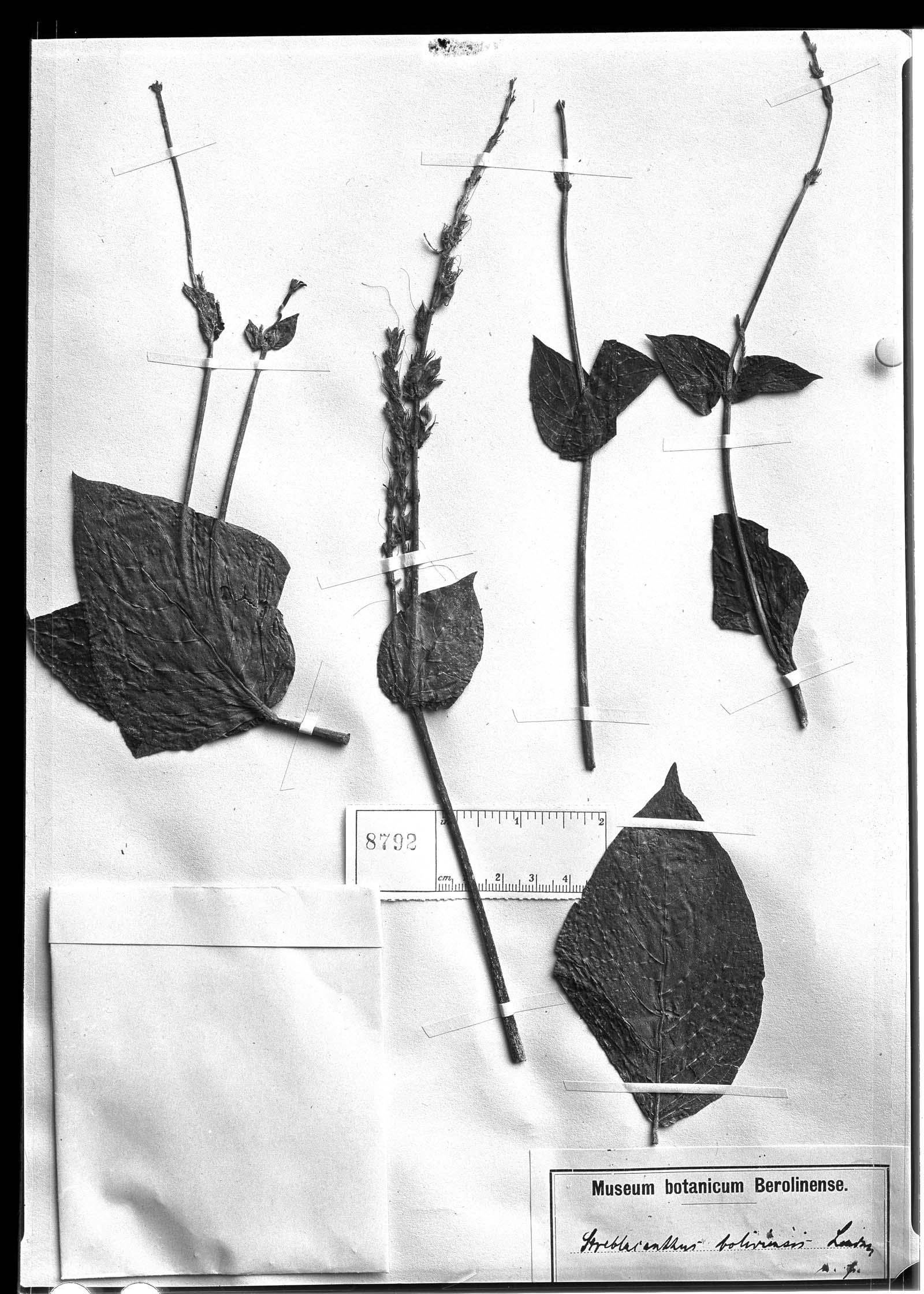 Streblacanthus boliviensis image
