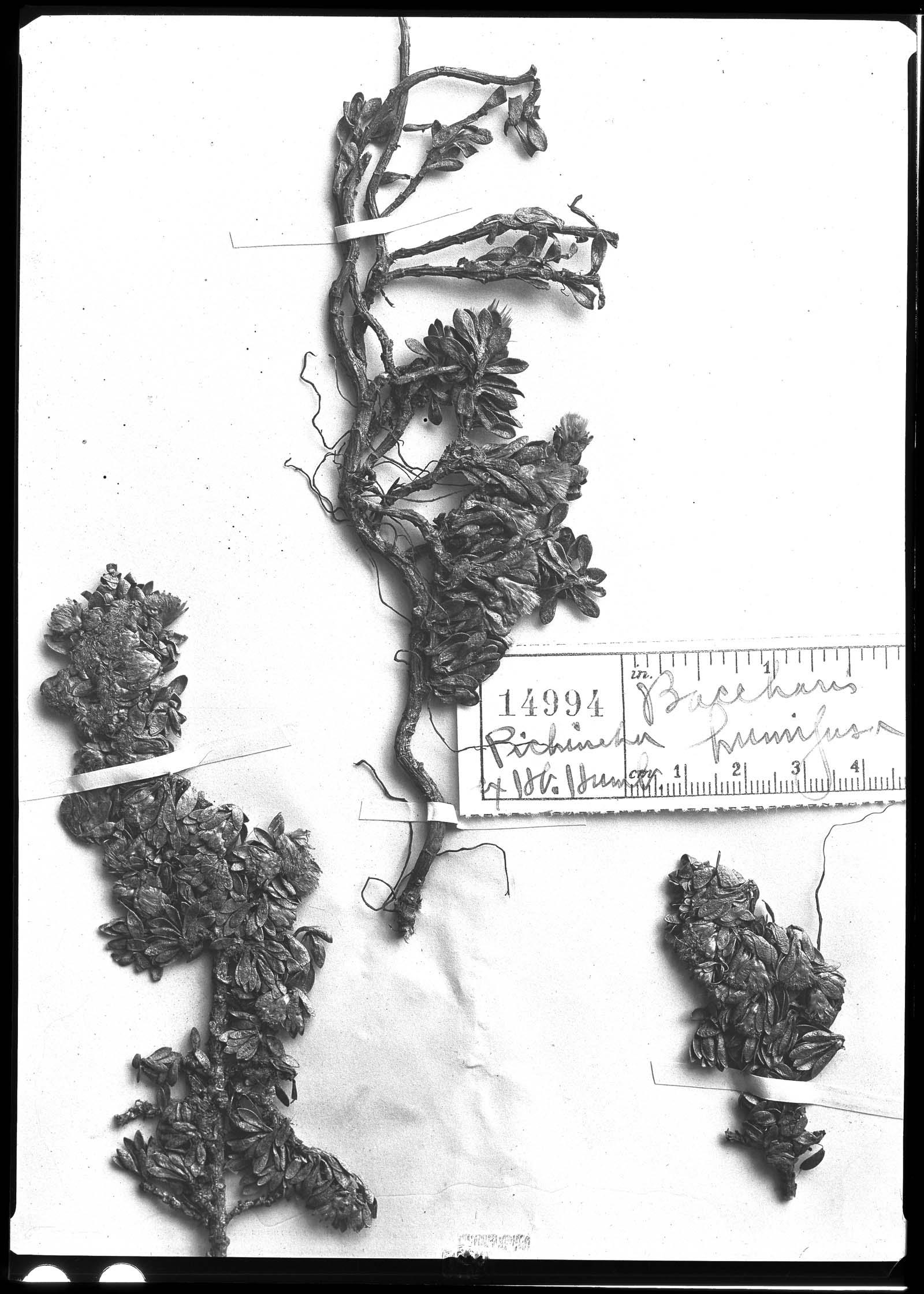 Baccharis humifusa image