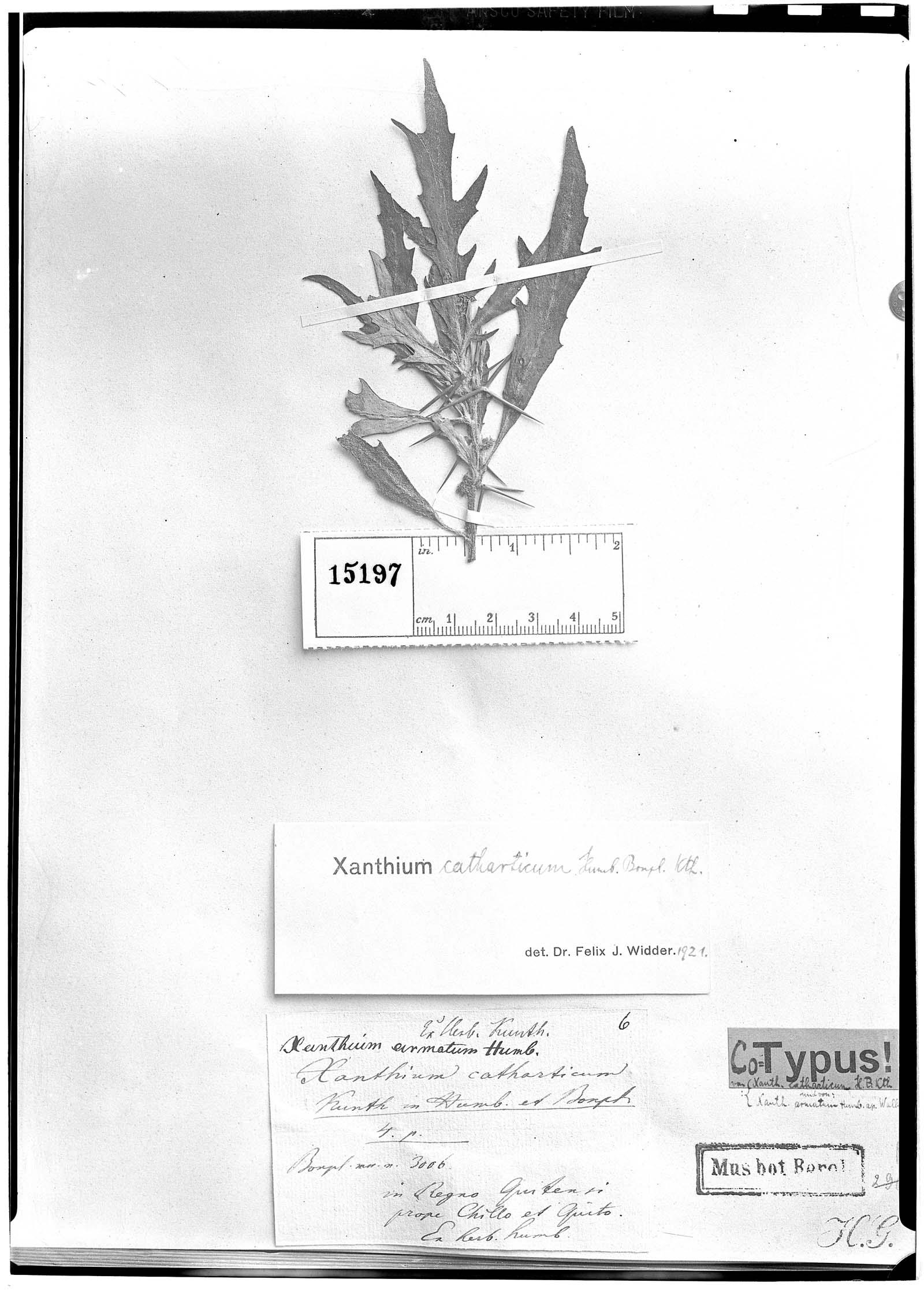 Xanthium catharticum image