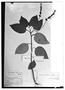 Centropogon calycinus image