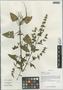 Salvia roborowskii Maxim., China, D. E. Boufford 34598, F