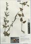 Salvia roborowskii Maxim., China, D. E. Boufford 31142, F