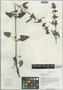 Salvia roborowskii Maxim., China, D. E. Boufford 32174, F