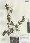 Salvia roborowskii Maxim., China, D. E. Boufford 31514, F