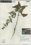 Salvia roborowskii Maxim., China, D. E. Boufford 33857, F