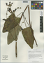 Salvia przewalskii var. mandarinorum (Diels) E. Peter, China, D. E. Boufford 30052, F
