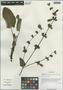 Salvia przewalskii var. mandarinorum (Diels) E. Peter, China, D. E. Boufford 29675, F