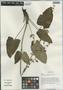Salvia przewalskii var. glabrescens Stibal, China, D. E. Boufford 36310, F