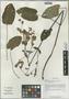 Salvia przewalskii var. glabrescens Stibal, China, D. E. Boufford 34367, F
