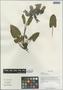 Salvia prattii Hemsl., China, D. E. Boufford 30876, F