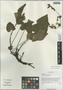 Salvia flava Forrest ex Diels, China, D. E. Boufford 35285, F
